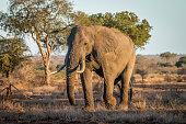 Big Elephant bull walking in the bush.