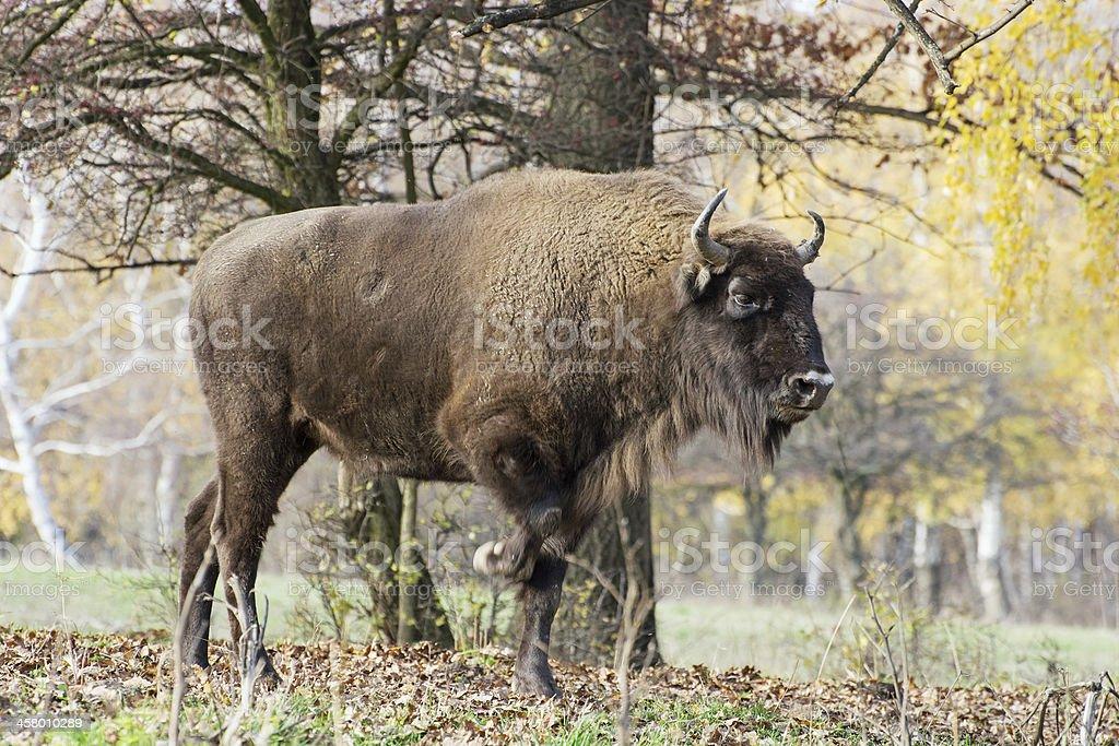 Big European bison (Bison bonasus) in the forest stock photo