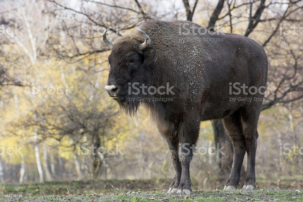 Big European bison (Bison bonasus) stock photo