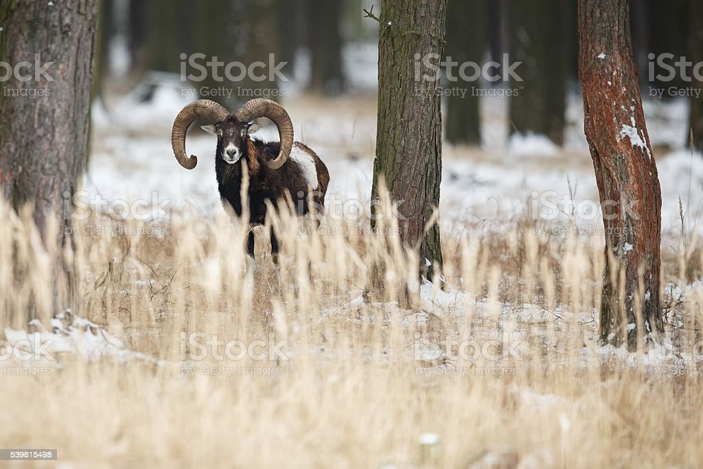 big european mouflon in winter stock photo