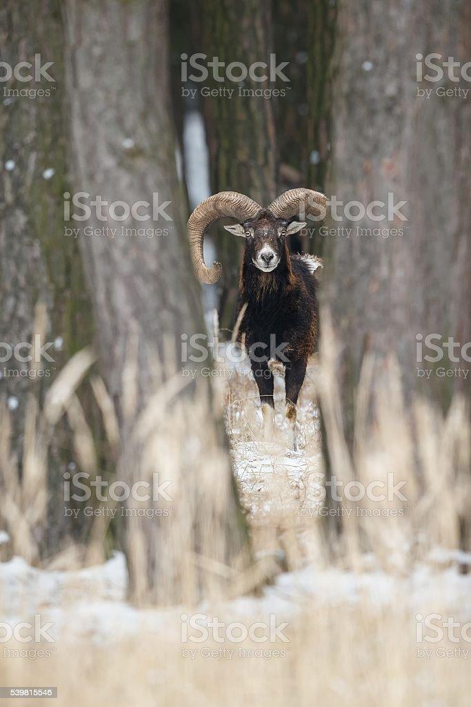 big european mouflon in winter stock photo