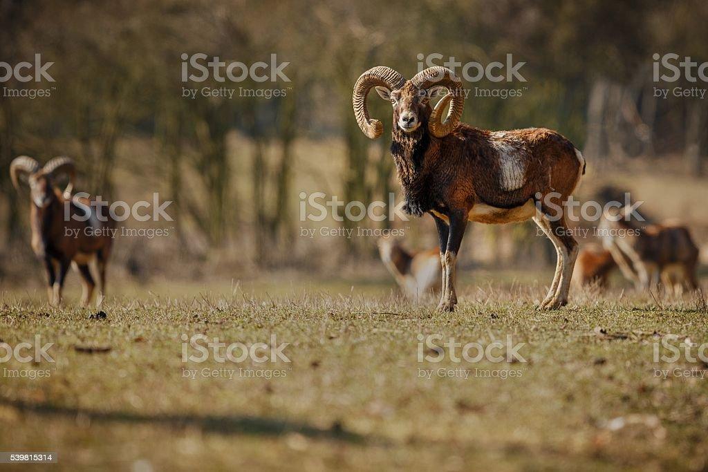 big european mouflon stock photo