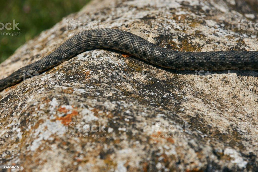Big european Non venomous adder snake stock photo