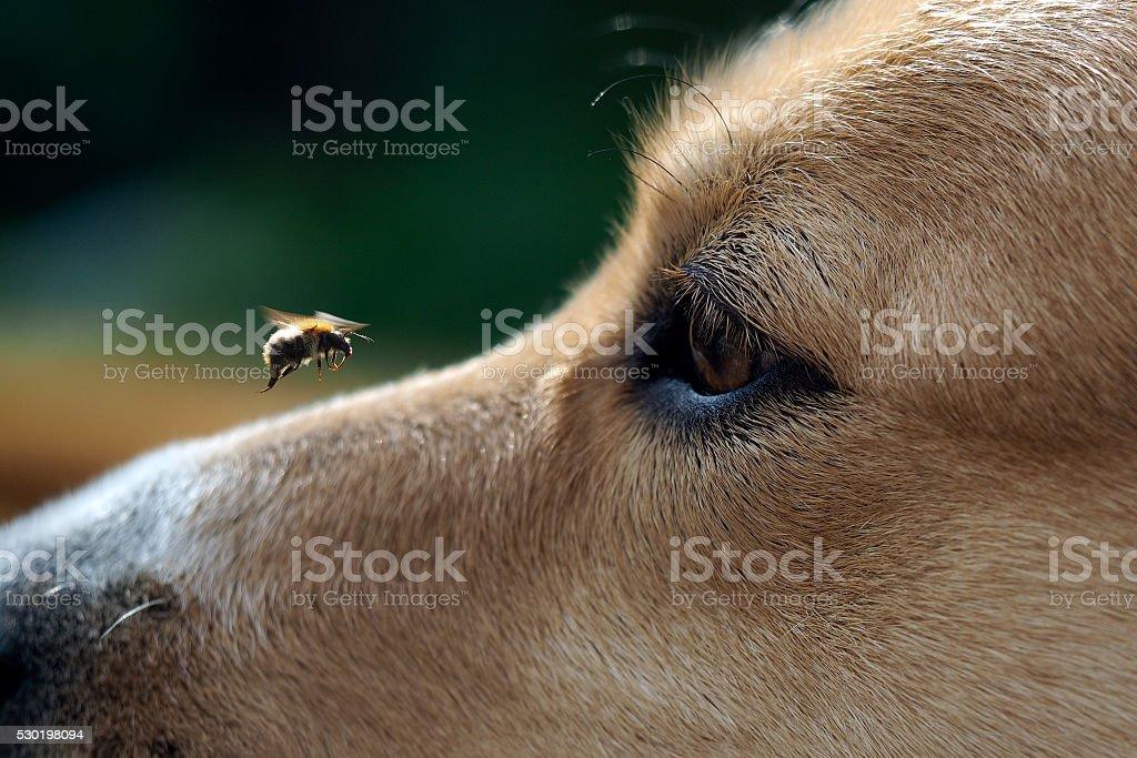 Big Eye dog and flying bee stock photo