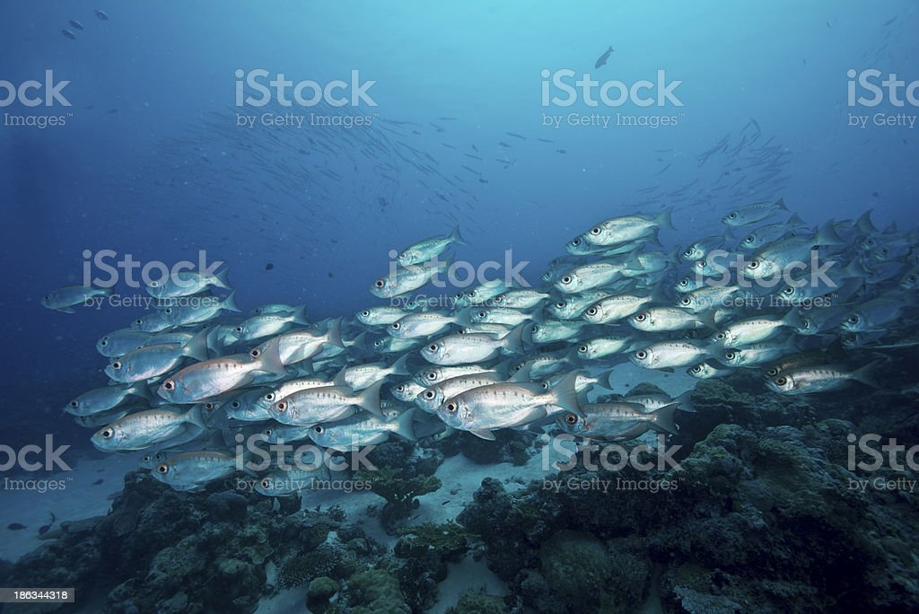 Big Eye Scad Schooling stock photo