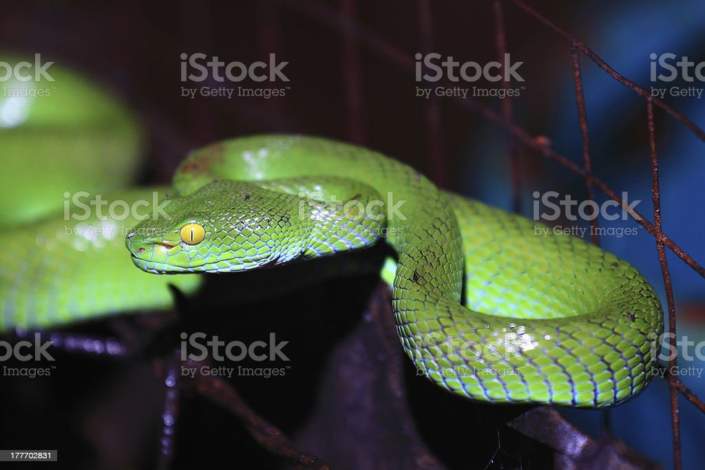 Big eyed pit viper stock photo