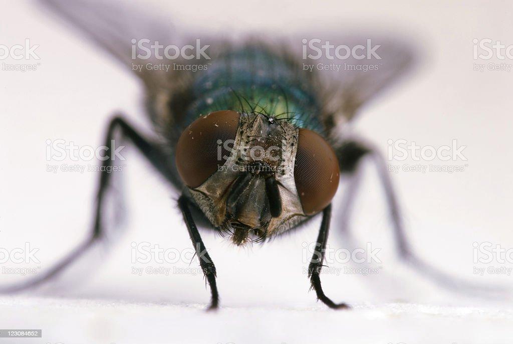 Big Eyes of Fly royalty-free stock photo
