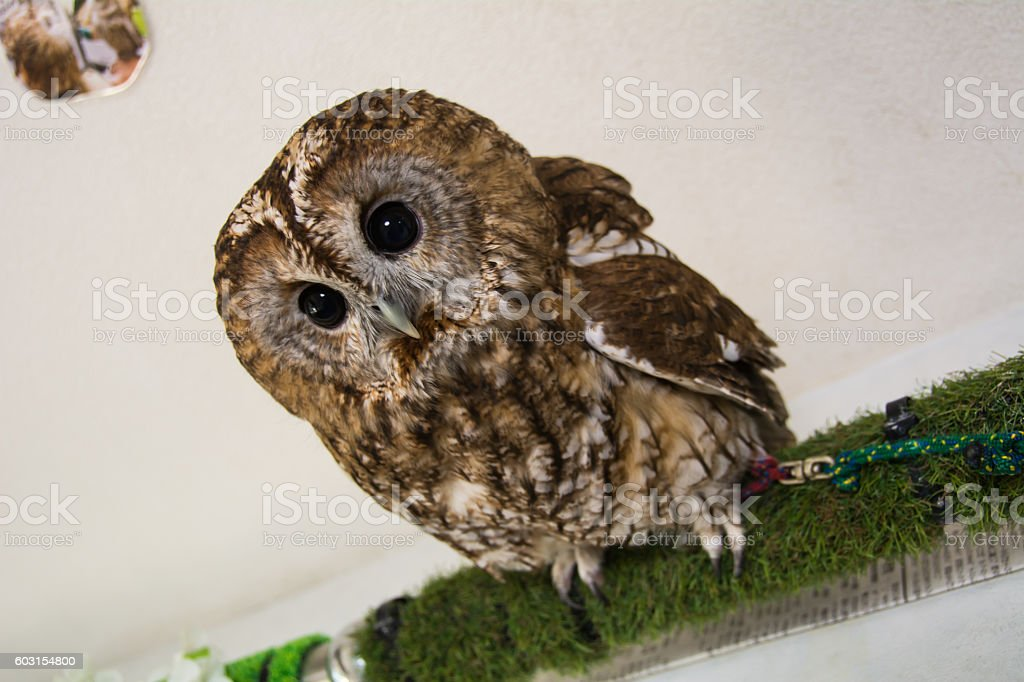 Big Eyes Owl stock photo