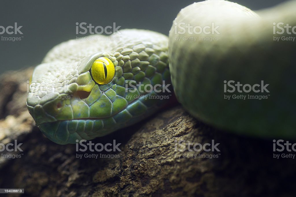 Big Eyes Pit Viper royalty-free stock photo