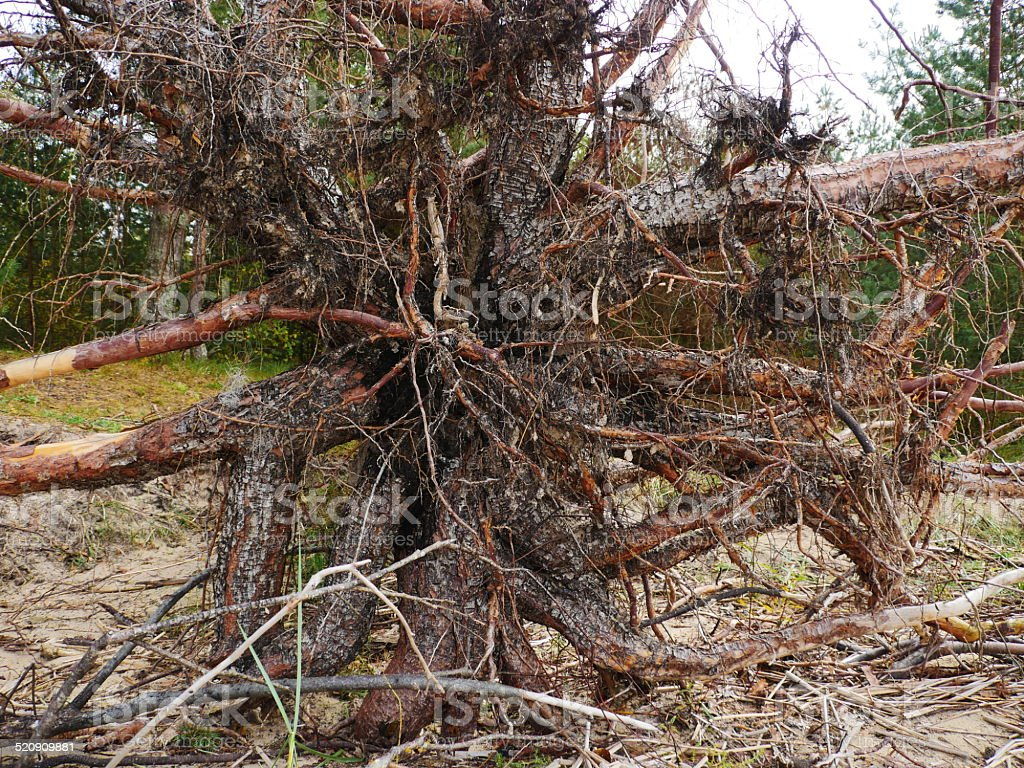 Big Fallen Tree after hurricane. stock photo