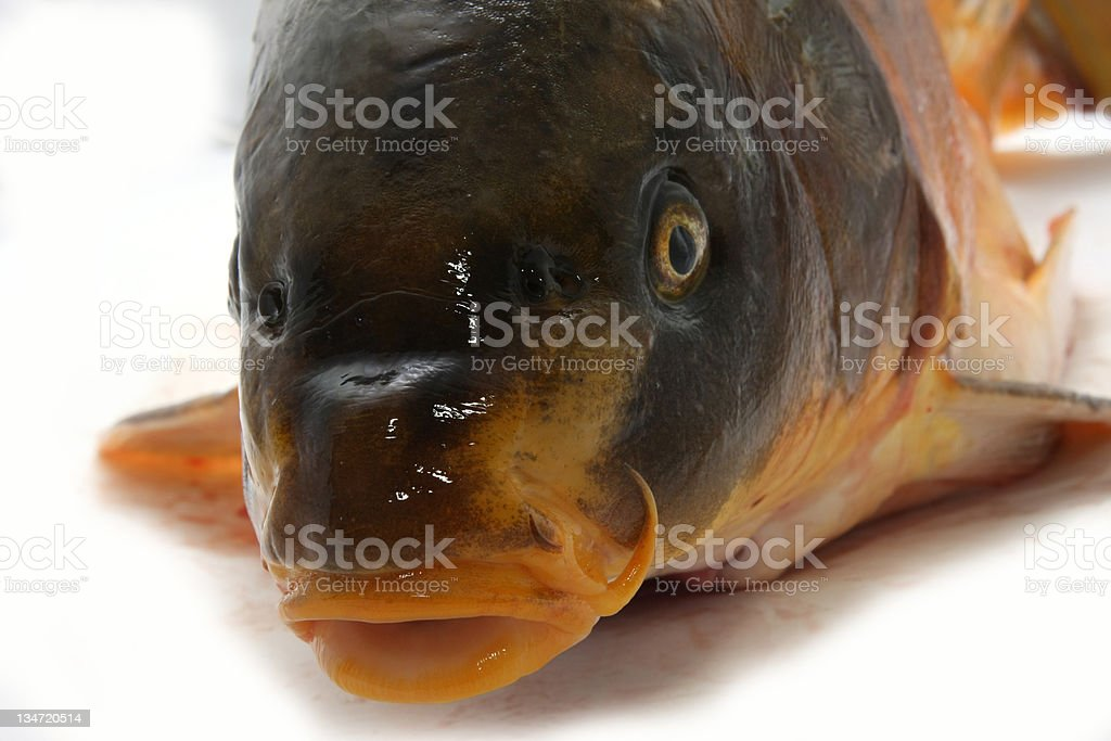 Big fat carp on white background royalty-free stock photo