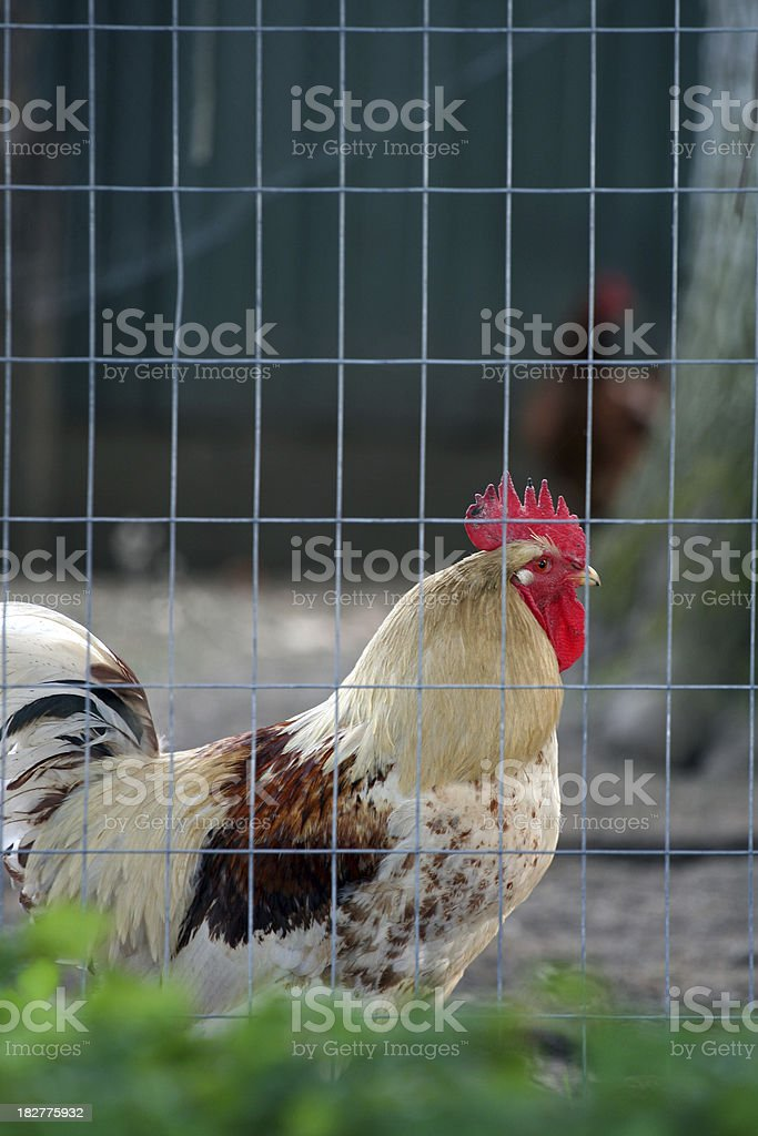 Big Fighting Cock stock photo