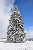 Big fir tree covered by snow