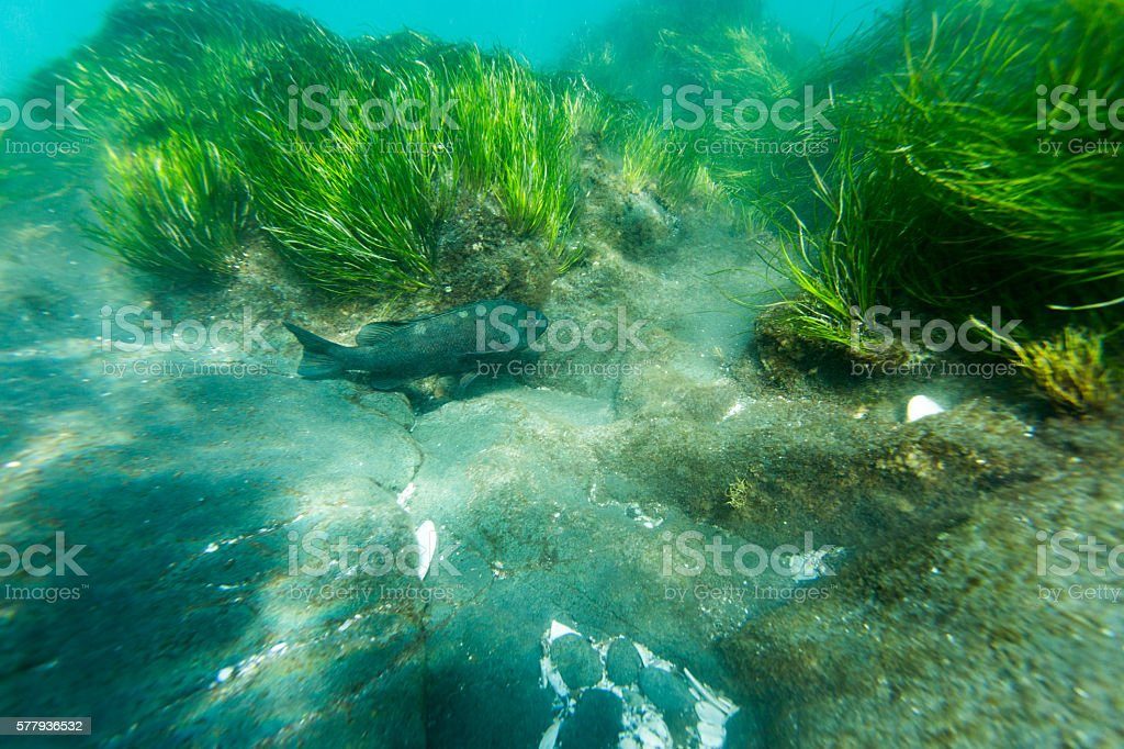 Big Fish and Sea Grass stock photo
