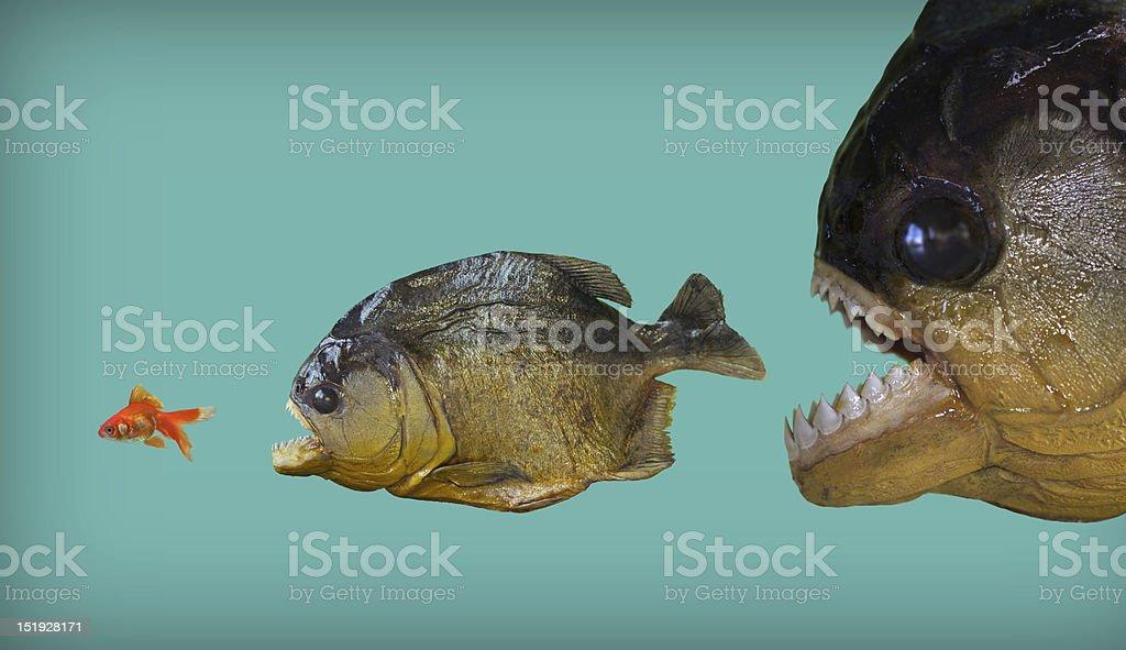 Big fish eats smaller one royalty-free stock photo