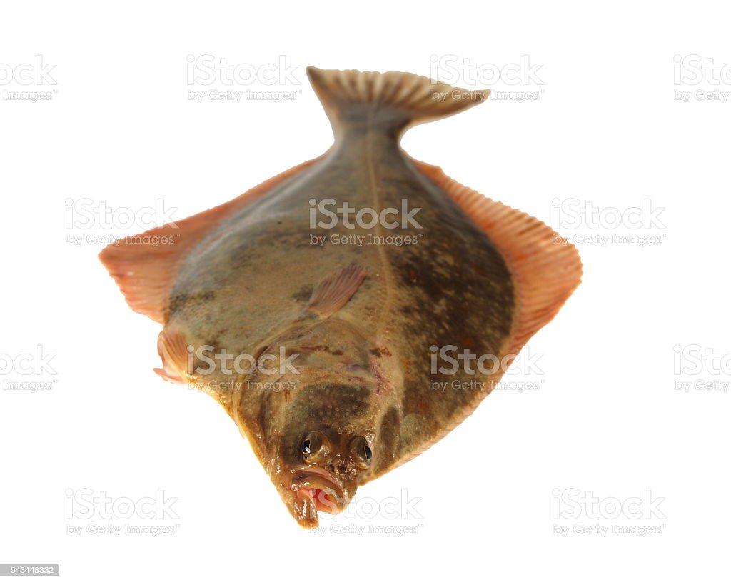 big fish flounder stock photo