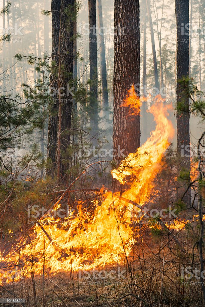 Big flame on forest fire stock photo