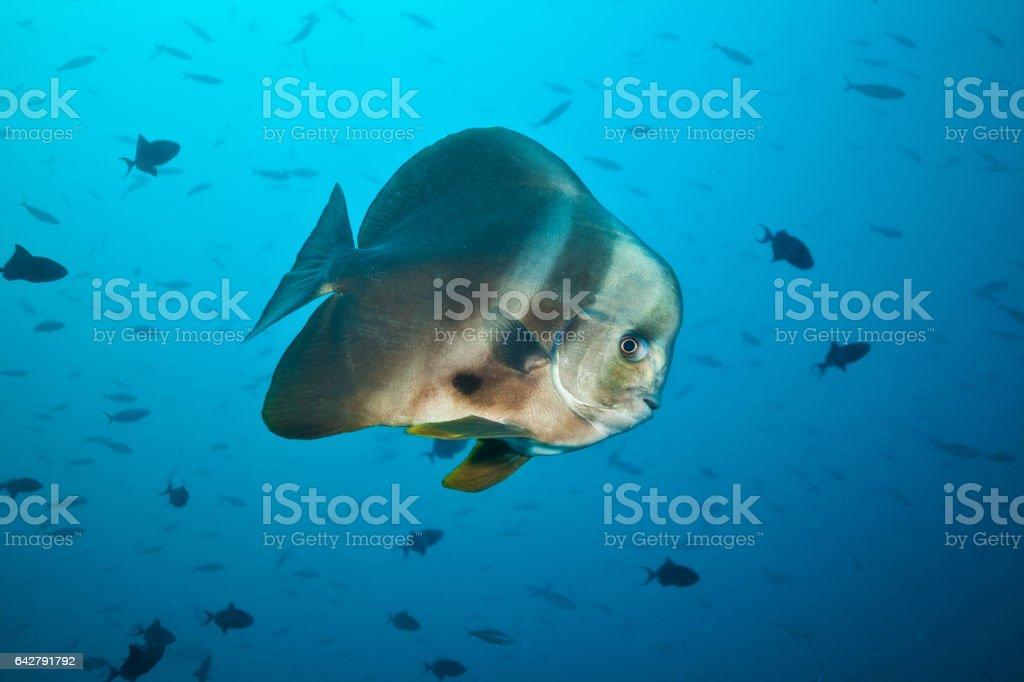 Big flat fish floating in deep blue ocean stock photo