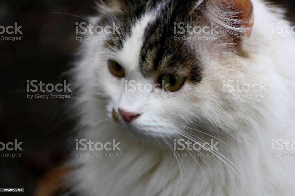 Big fluffy white cat with spots close up. stock photo