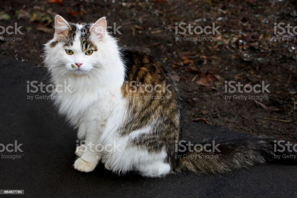 Big fluffy white cat with spots sitting on the ground and looking forward. stock photo