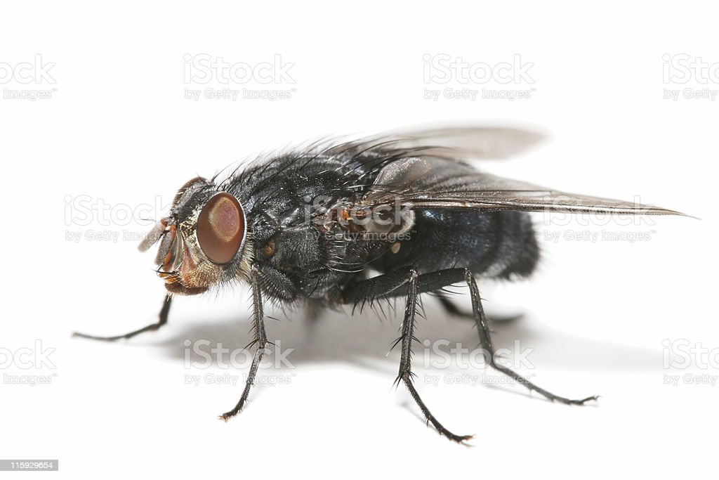 Big fly 03 royalty-free stock photo