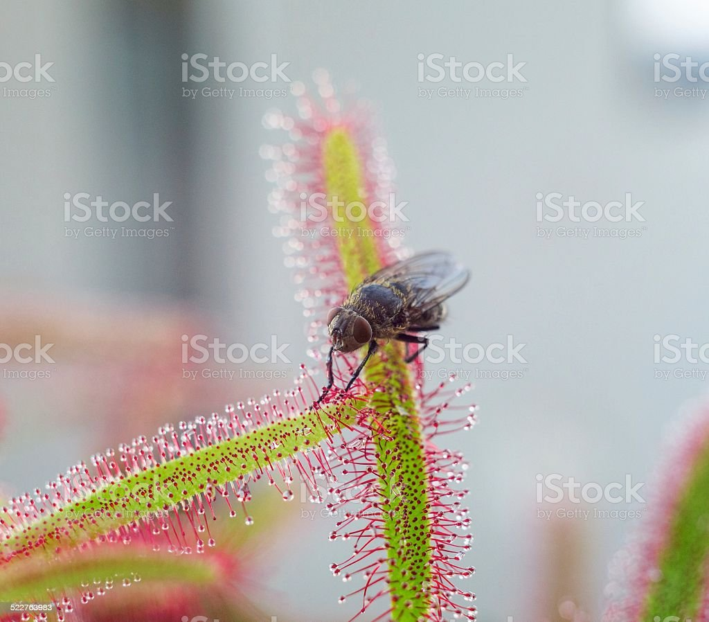 big fly catched by Sundew (drosera) - close up stock photo