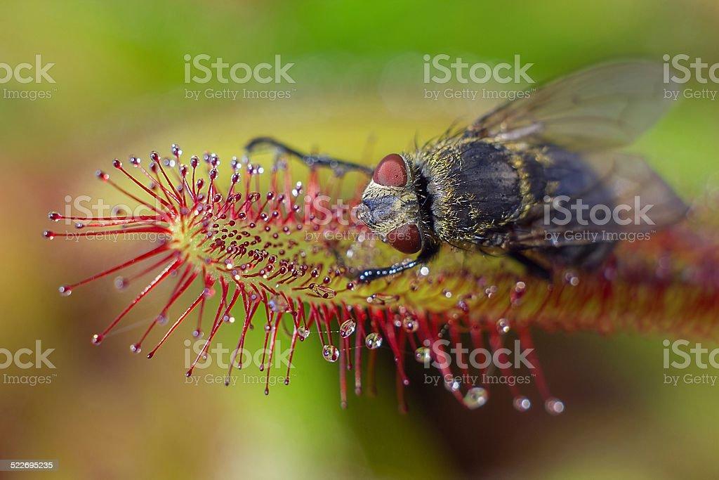 big fly catched by Sundew (drosera) (macro) stock photo