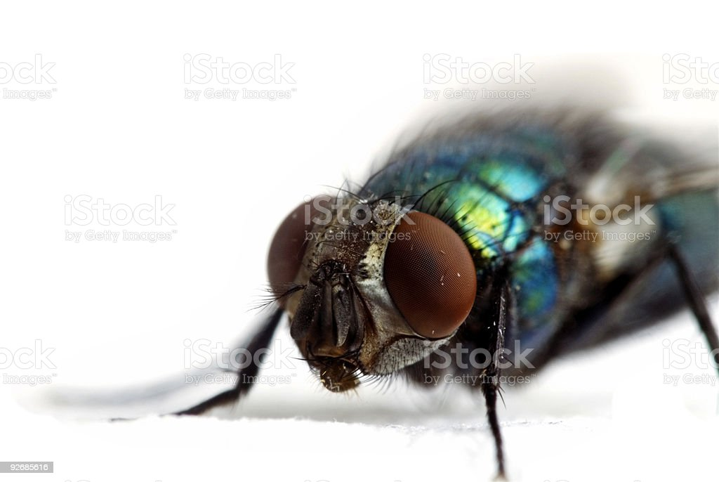 Big Fly on White stock photo
