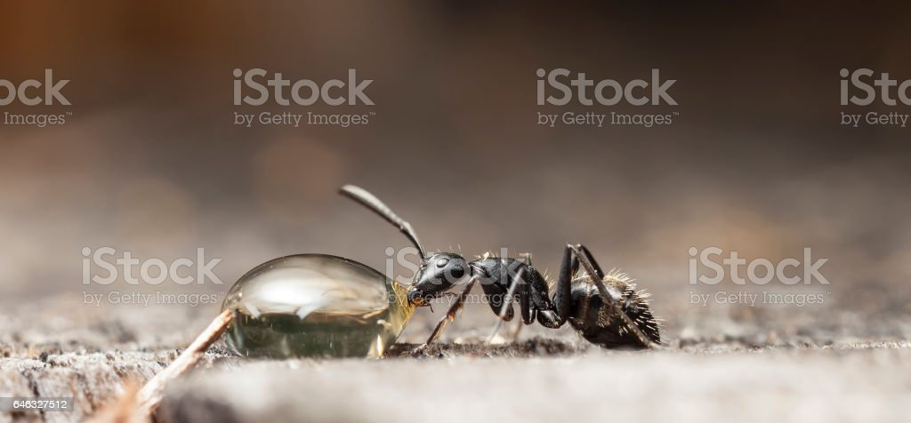 big forest ant stock photo