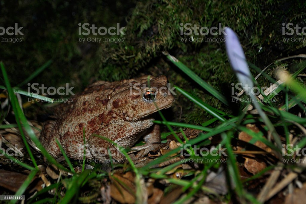 Big forest toad stock photo