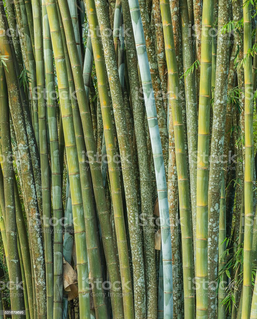 big fresh bamboo grove in forest stock photo