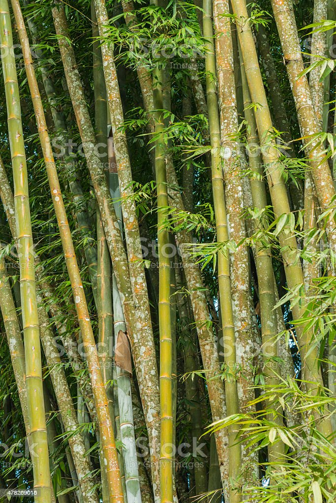 big fresh bamboo grove stock photo