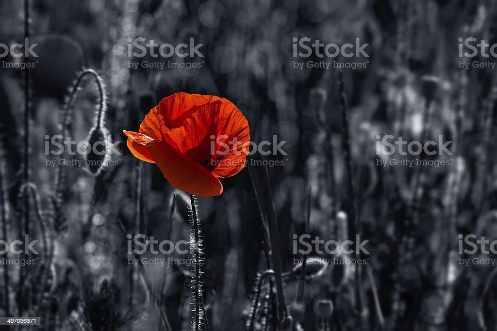 big fresh poppy in the field stock photo