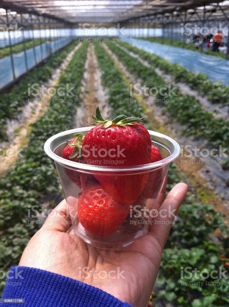 Big Fresh red strawberry in hand holding at the farm stock photo