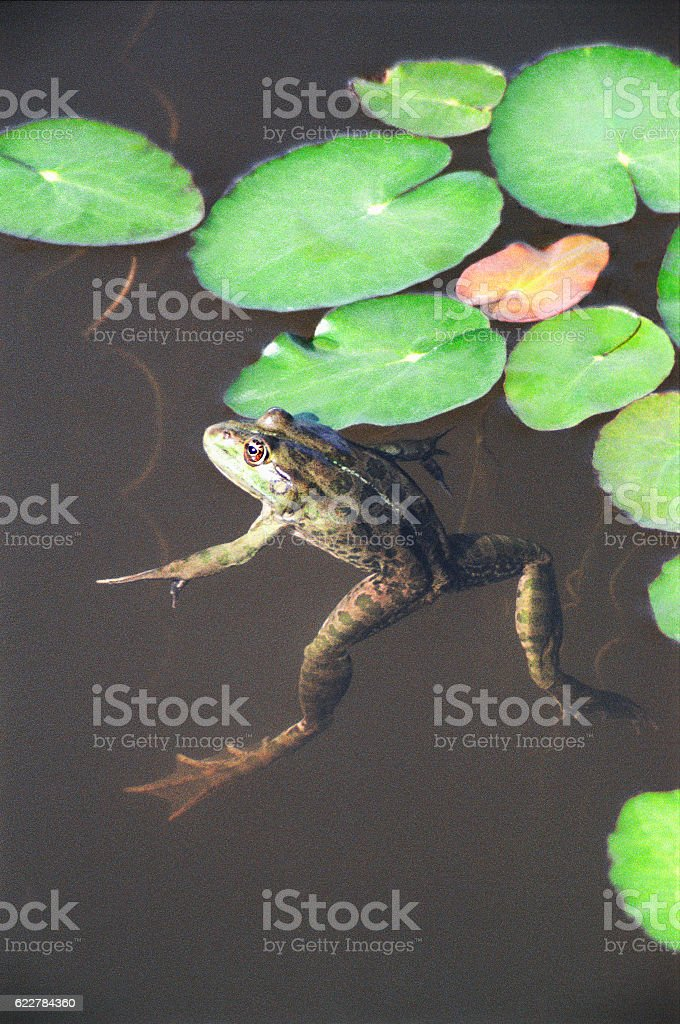 Big Frog is in an interesting position in  natural pond stock photo