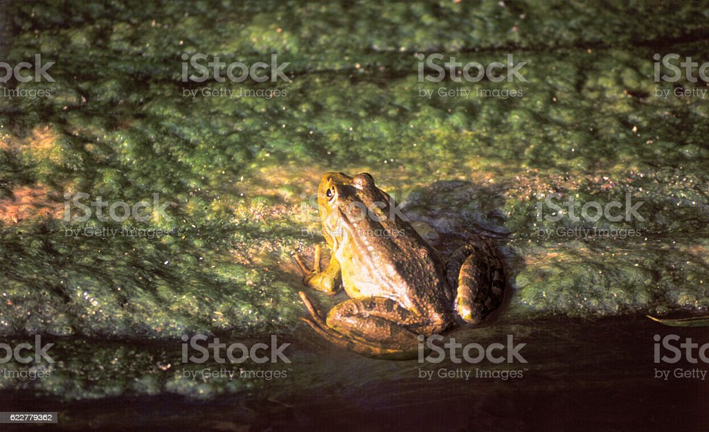 Big Frog is on the green ooze in the swamp stock photo