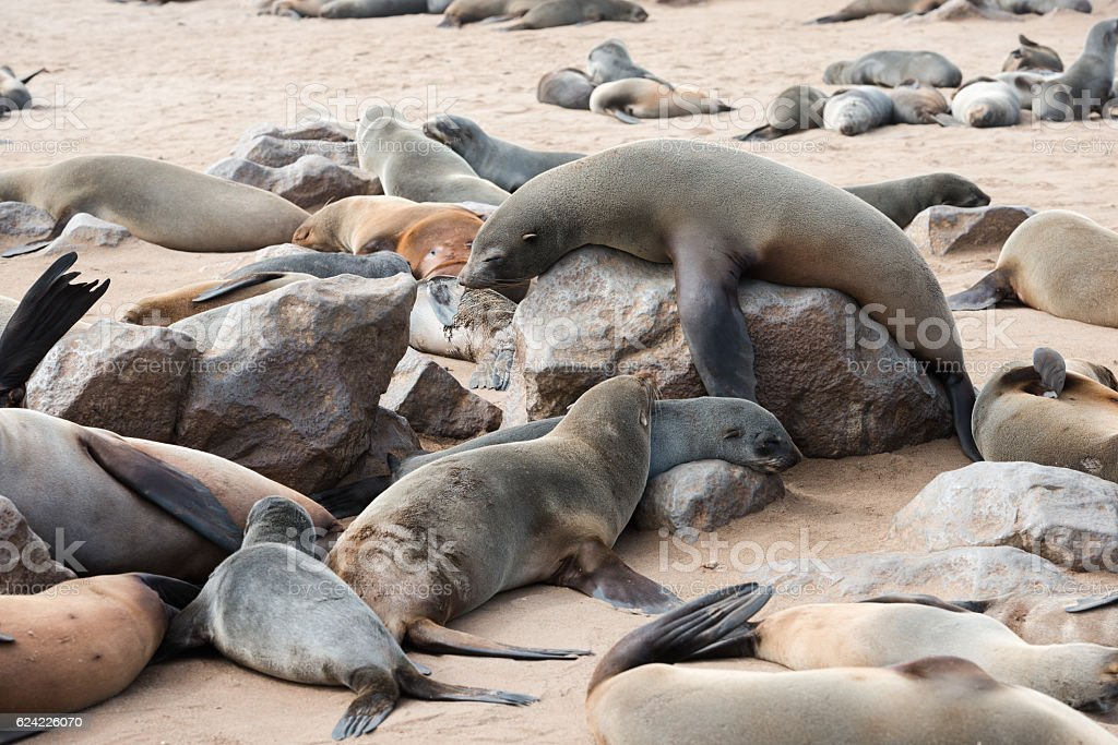 Big fur seal is comically tries to rise above others stock photo