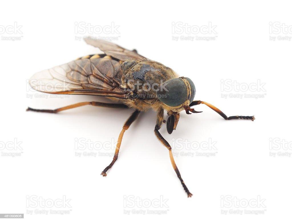 Big gadfly. stock photo