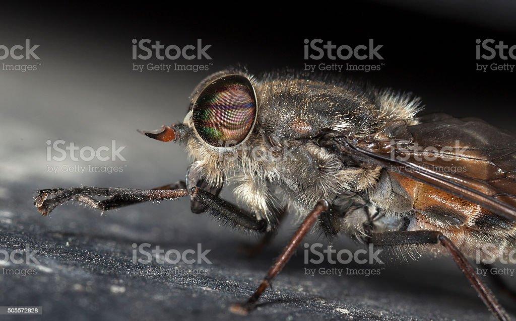 big gadfly stock photo
