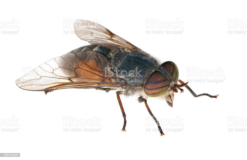 big gadfly with striped eyes royalty-free stock photo