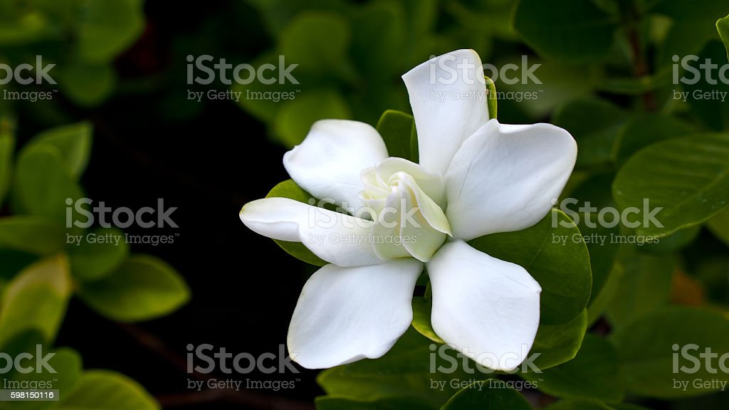 Big Gardenia Blooms stock photo