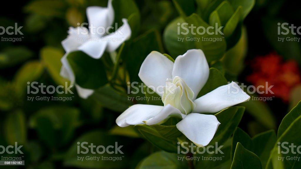 Big Gardenia Blooms stock photo