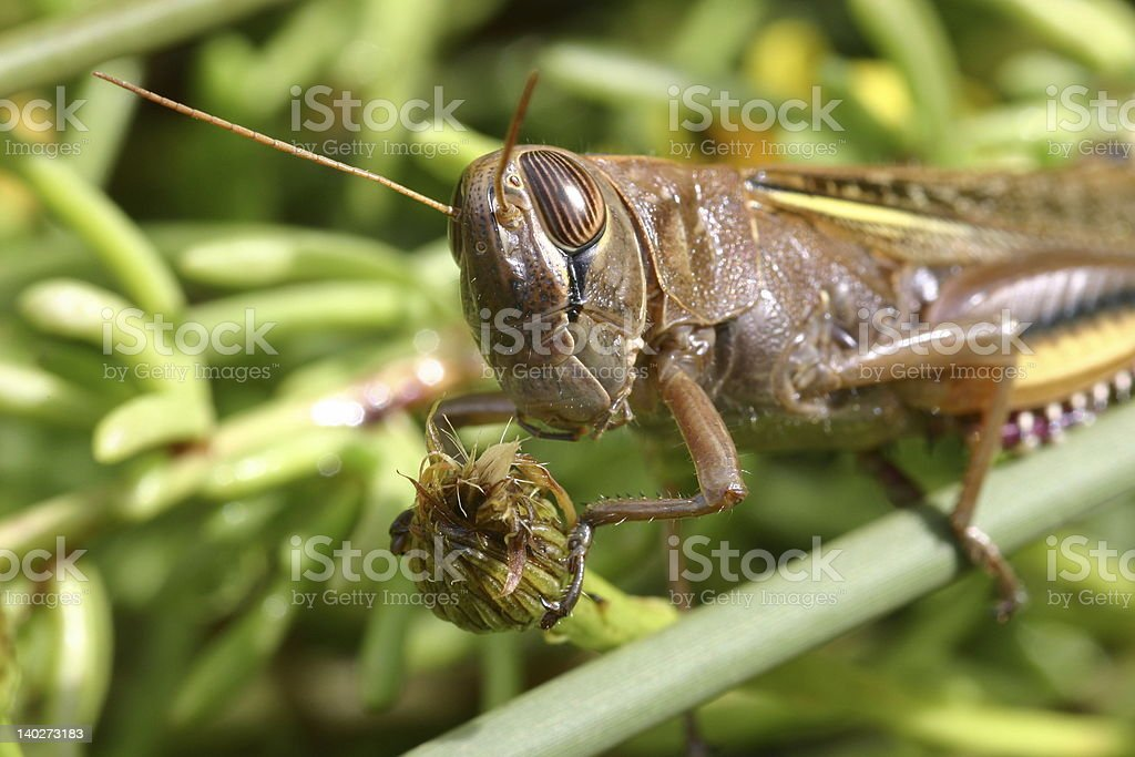 Big grasshopper holding a bud royalty-free stock photo