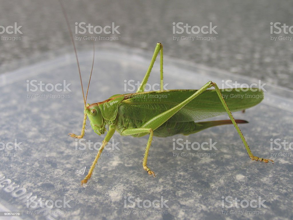 big grasshopper on microwave lid royalty-free stock photo