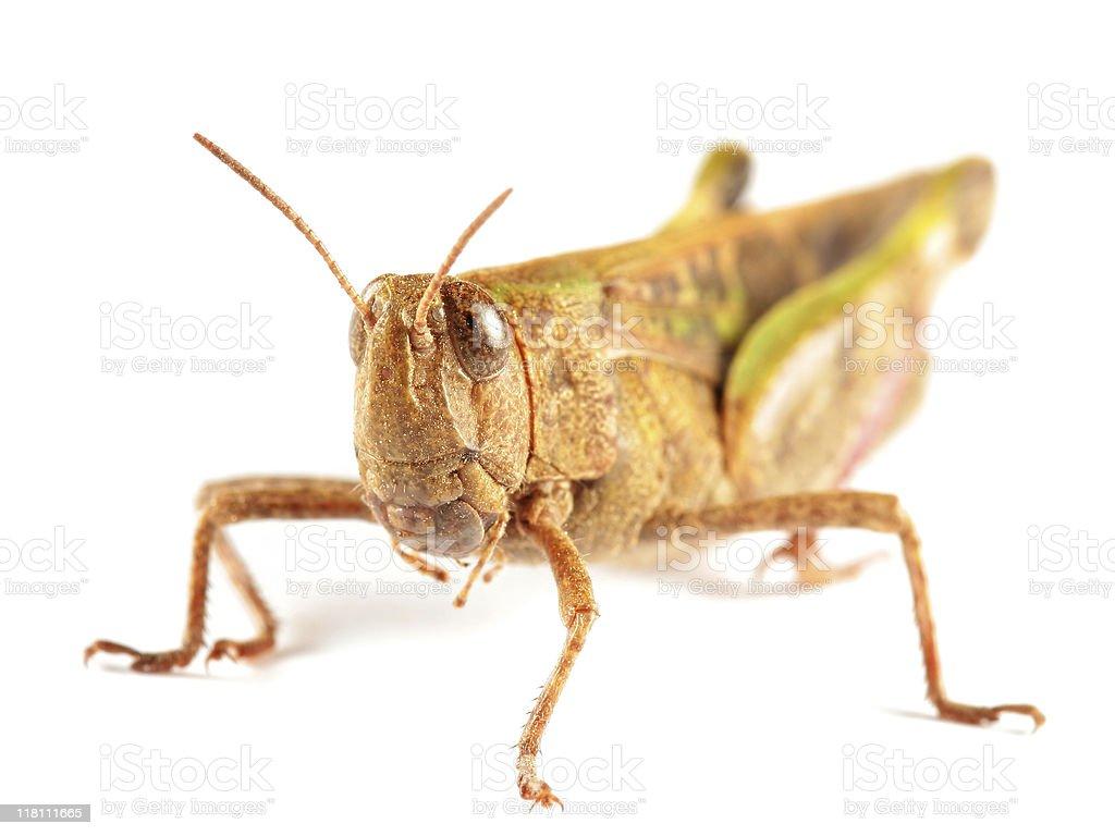 Big grasshopper royalty-free stock photo