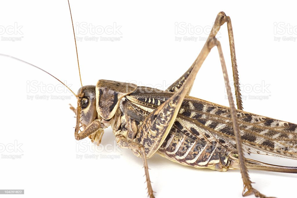 Big grasshopper with front leg on head royalty-free stock photo