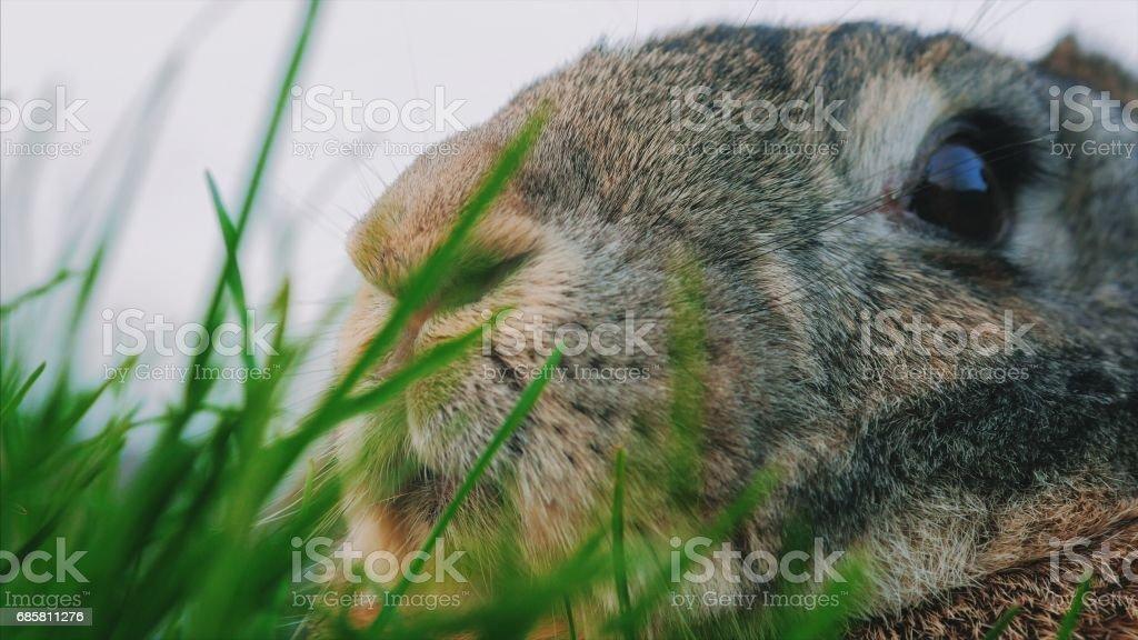 Big gray bunny sitting on green grass stock photo