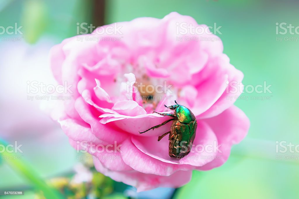 Big green beetle on a rose flower stock photo