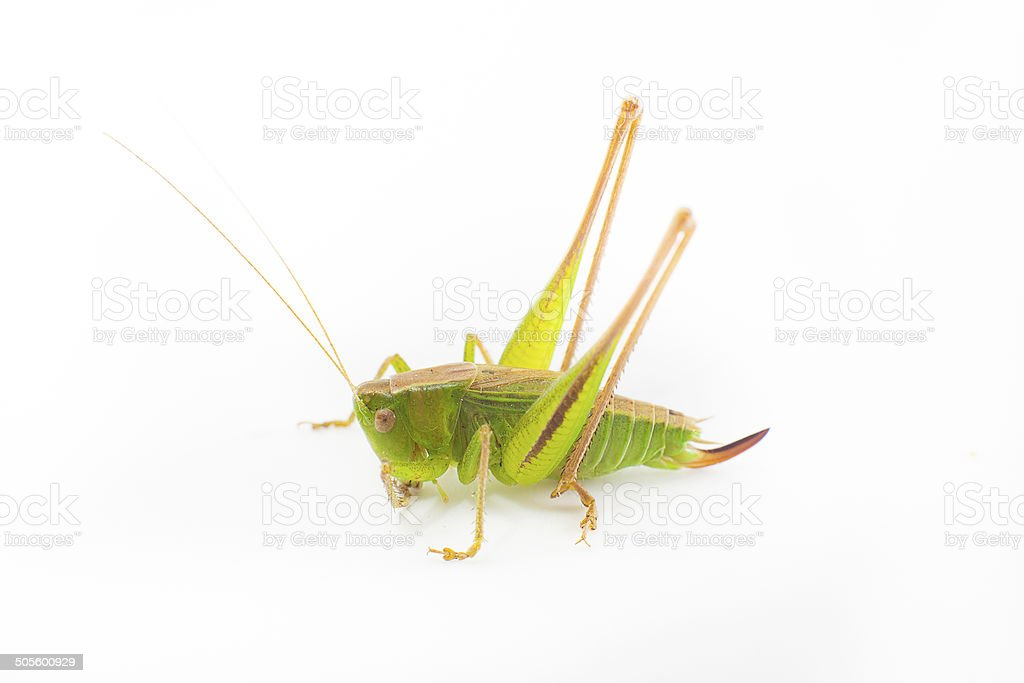 Big green grasshopper isolated on white stock photo