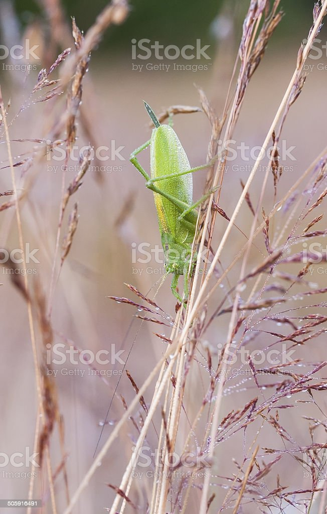 Big green grasshopper on a hay straw stock photo